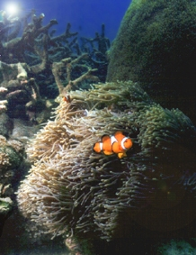 mapping the distribution of anemones and clown fish